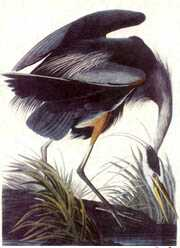 Picture by John J. Audubon